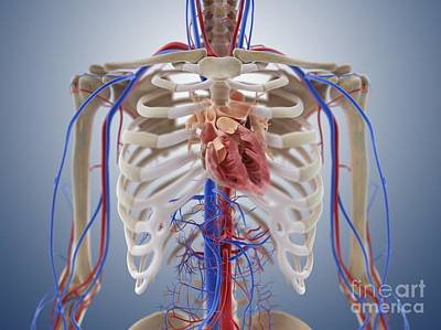 Cardiovascular System, Artwork Print by Springer Medizin