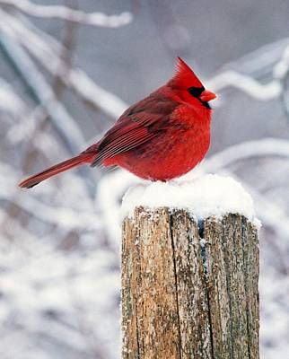 Cardnal On Fencepost Art Print by Terry Dickinson