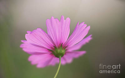 Photograph - Carefree Cosmo by Mike Reid