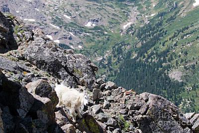 Photograph - Careful Goat On The Mount Massive Summit by Steve Krull