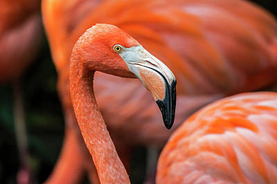 Photograph - Caribbean Flamingo by Arterra Picture Library