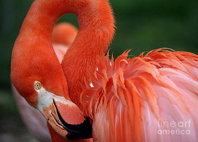 Photograph - Caribbean Flamingo by Lisa L Silva