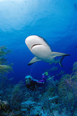 Photograph - Caribbean Reef Shark by Dave Fleetham - Printscapes