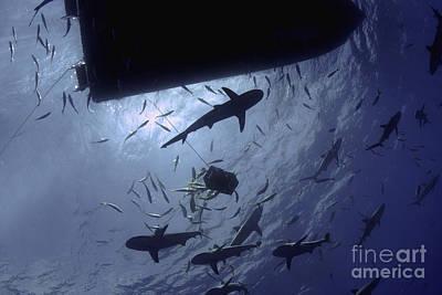 Frenzy Photograph - Caribbean Reef Sharks Circling A Dive by Amanda Nicholls