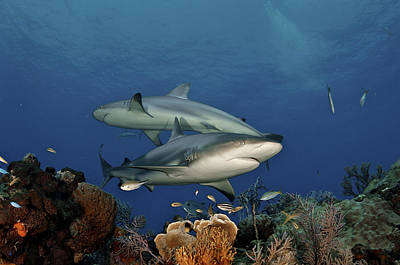Bahama Islands Photograph - Caribbean Reef Sharks Swimming by Brian J. Skerry