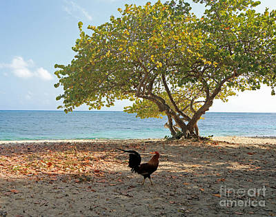 Photograph - Caribbean Rooster by Mary Haber