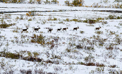 Photograph - Caribou 2 by Mary Carol Story