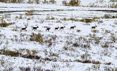 Photograph - Caribou 2 by Mary Carol Story