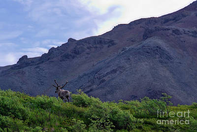 Photograph - Caribou At Crest Of Hill by David Arment