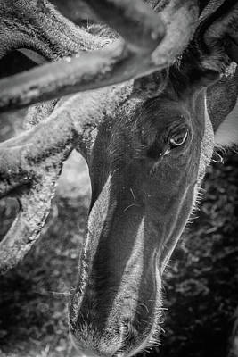 Photograph - Caribou Black And White by Jason Brooks