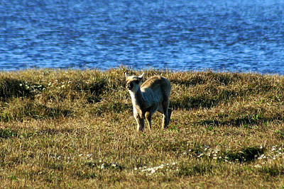 Photograph - Caribou Fawn by Anthony Jones