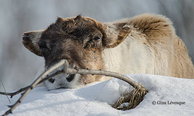 Photograph - Caribou by Gina Levesque
