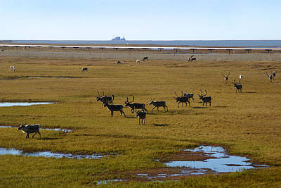 Photograph - Caribou Herd by Anthony Jones