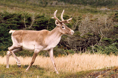 Photograph - Caribou by Mary Mikawoz