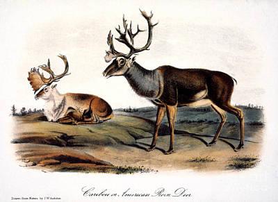 Photograph - Caribou (rangifer Caribou): by Granger