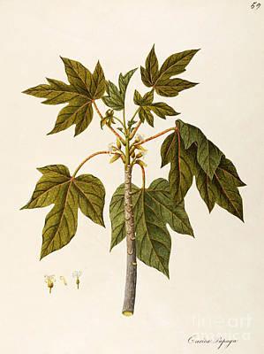 Tree Plantation Painting - Carica Papaya by Angela Rossi Bottione