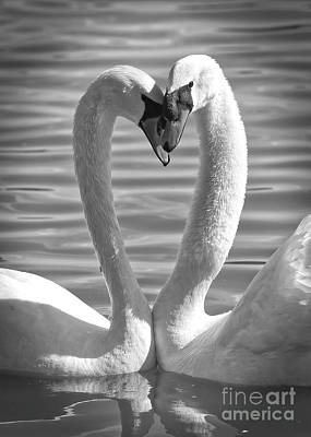 Photograph - Caring Swans Black And White by Carol Groenen
