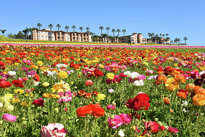 Carlsbad Flower Field Art Print by Dung Ma
