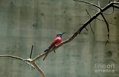 Photograph - Carmine Bee Eater Textured by Michelle Meenawong