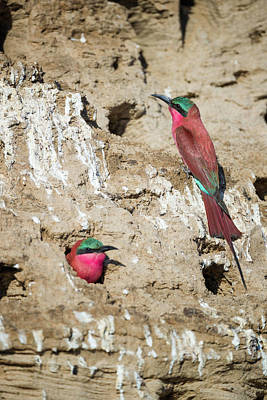 Photograph - Carmine Bee Eaters by Fran Gallogly