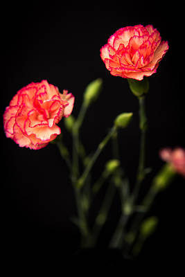 Photograph - Carnation 1 by Willie Harper