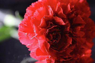 Photograph - Carnation by Angela Murdock