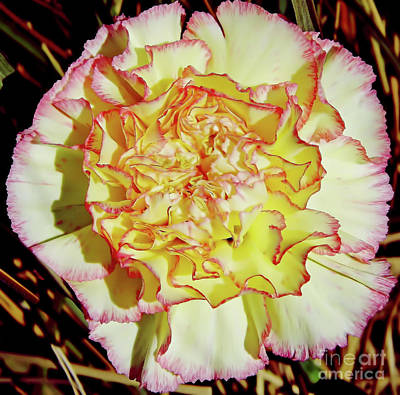 Photograph - Carnation Beauty by D Hackett