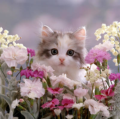 Photograph - Carnation Cat by Warren Photographic