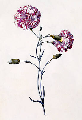 Carnation Drawing - Carnation by Georg Dionysius Ehret