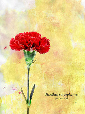 Carnation Art Print by Mark Rogan