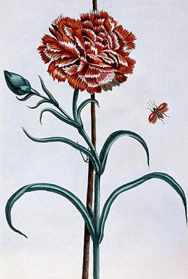 Carnation Drawing - Carnation by Pierre-Joseph Buchoz