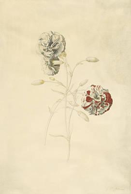 Flowers Painting - Carnations by Georg Dionysius Ehret