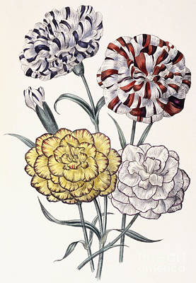 Stripe Drawing - Carnations by Jane Loudon