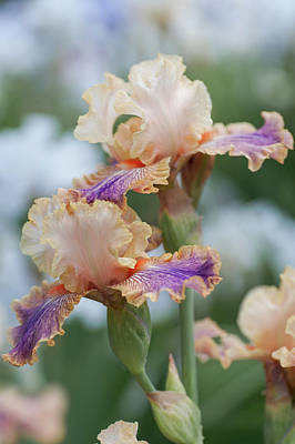 Photograph - Carnival Of Color 1. The Beauty Of Irises by Jenny Rainbow