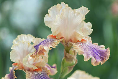 Photograph - Carnival Of Color 2. The Beauty Of Irises by Jenny Rainbow