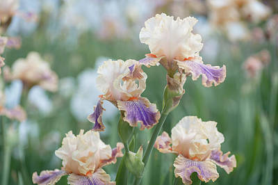Photograph - Carnival Of Color 3. The Beauty Of Irises by Jenny Rainbow