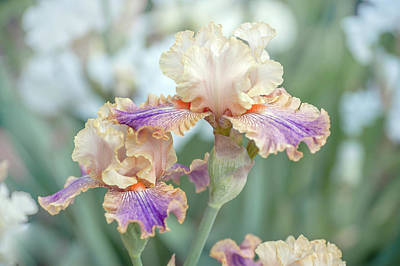 Photograph - Carnival Of Color. The Beauty Of Irises by Jenny Rainbow