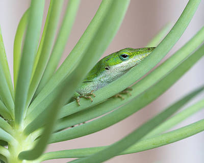 Carolina Anole Art Print