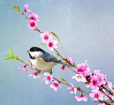 Chickadees Wall Art - Photograph - Carolina Chickadee And Peach Blossoms by Laura D Young