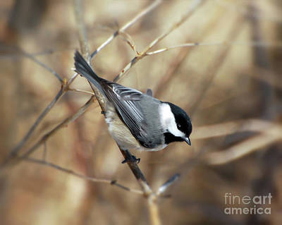 Photograph - Carolina Chickadee - Birds At Bisset Park by Kerri Farley
