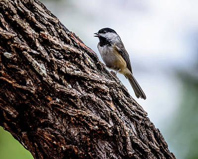 Photograph - Carolina Chickadee Chicka-dee-dee-dee by Debra Martz