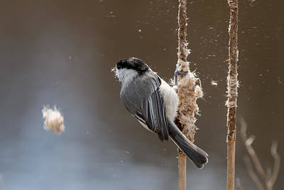 Photograph - Carolina Chickadee Feeding On Cattail by Liza Eckardt