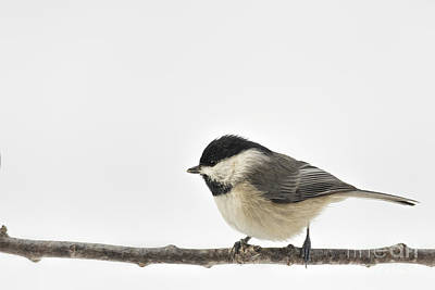 Photograph - Carolina Chickadee In Snow by Jemmy Archer