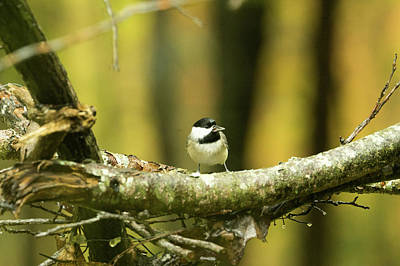 Photograph - Carolina Chickadee Looking For Hawks by Douglas Barnett