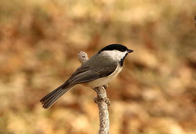 Photograph - Carolina Chickadee On Branch by Sheila Brown