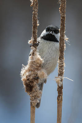 Photograph - Carolina Chickadee On Cattails by Liza Eckardt