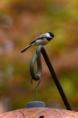 Photograph - Carolina Chickadee by Robert L Jackson