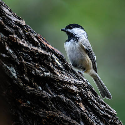 Photograph - Carolina Chickadee - Square Format by Debra Martz