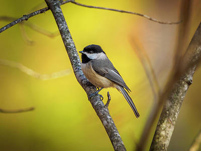 Photograph - Carolina Chickadee by Timothy Harris
