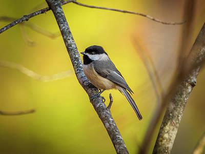 Photograph - Carolina Chickadee by Timothy Harris